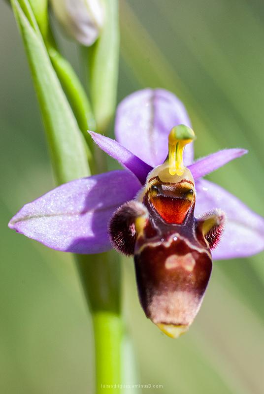 Orchid Alvados Portugal