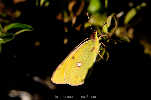 Butterfly Green Alvados Portugal