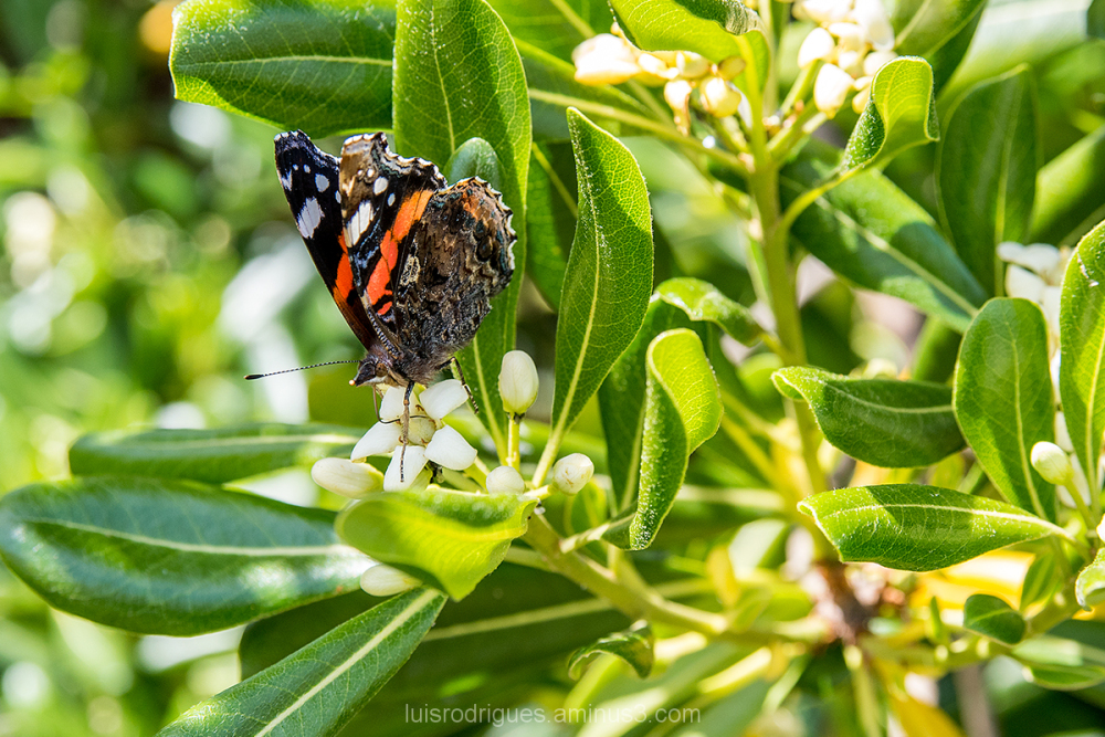 Butterfly  Portugal