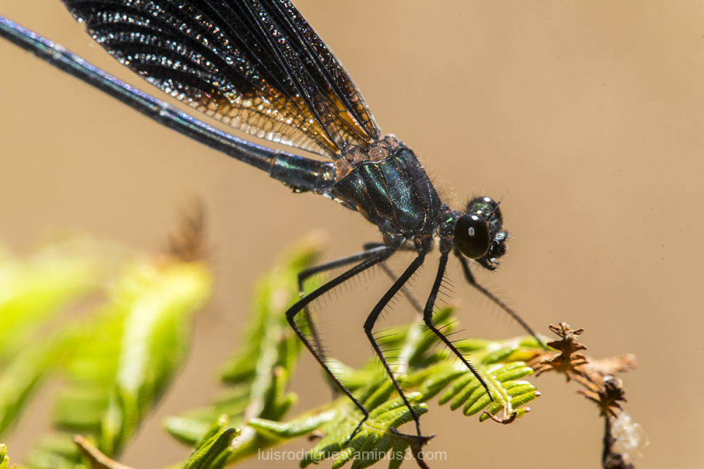 black-winged damselfly