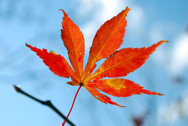 Autumn colors of Japanese Maple
