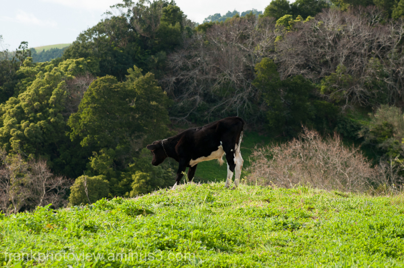 Azorean cow