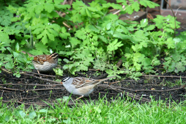 White-throated and White-crowned Sparrows
