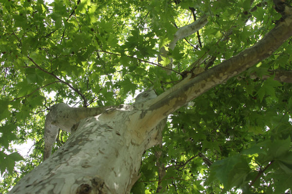 Looking up into a maple tree