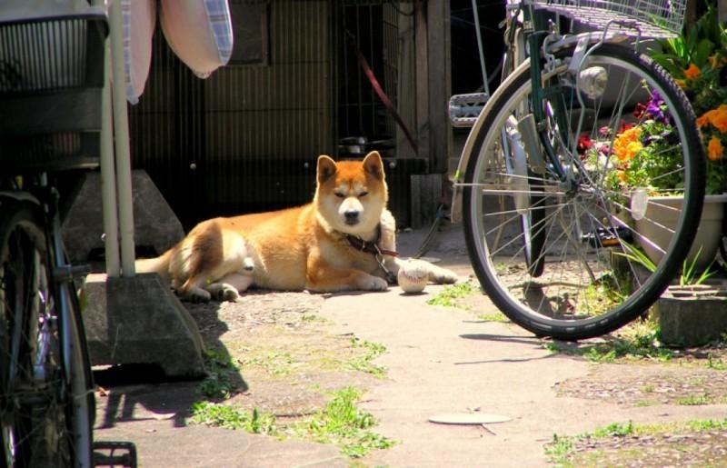 Amagasaki shiba dog Japan