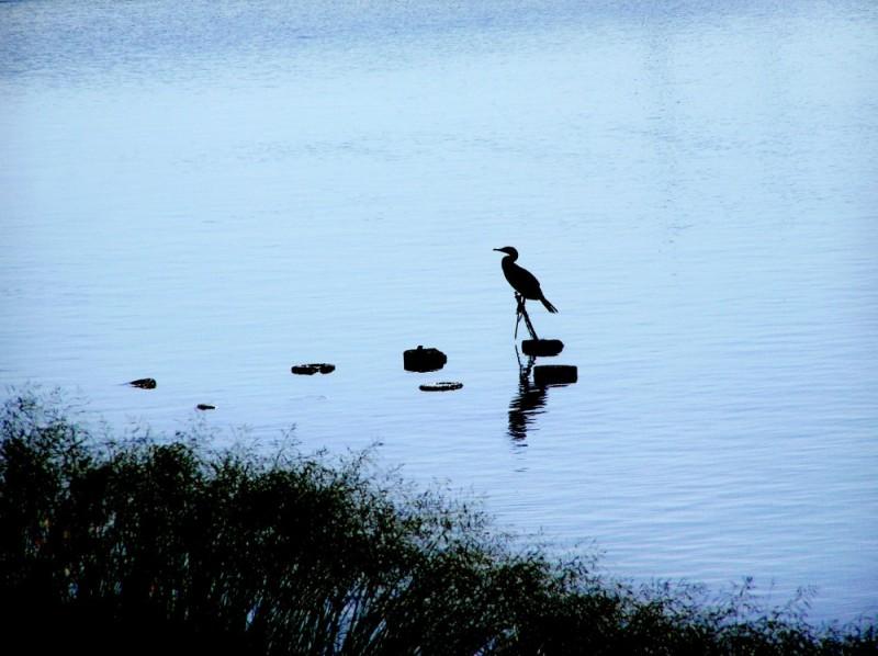 cormorant river Sonoda