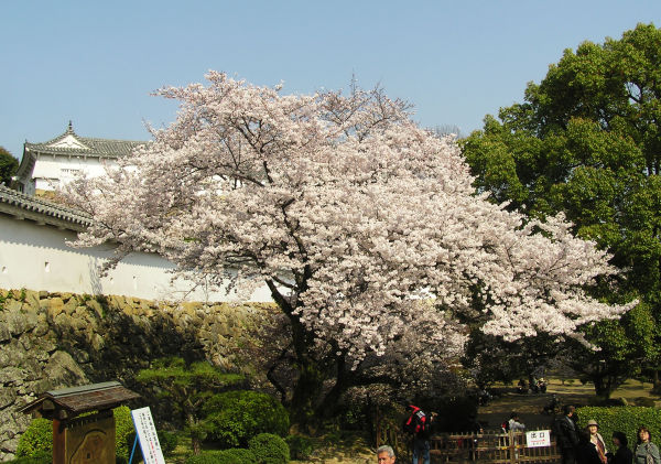 himeji castle blossom sakura japan tree hyogo