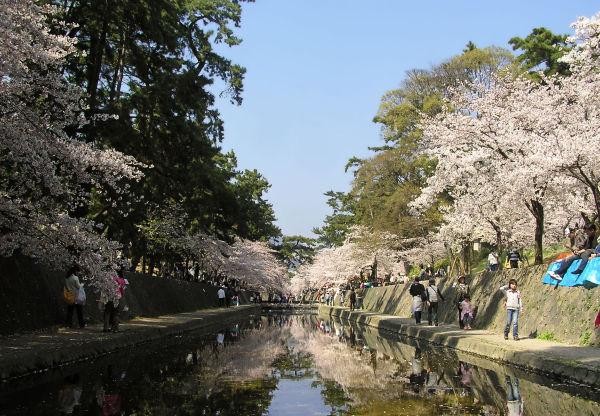tree river blossom sakura shukugawa japan