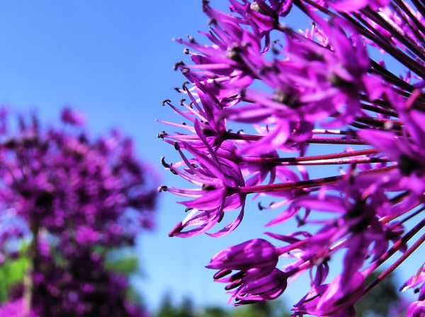 england wisley garden flower onion-flower