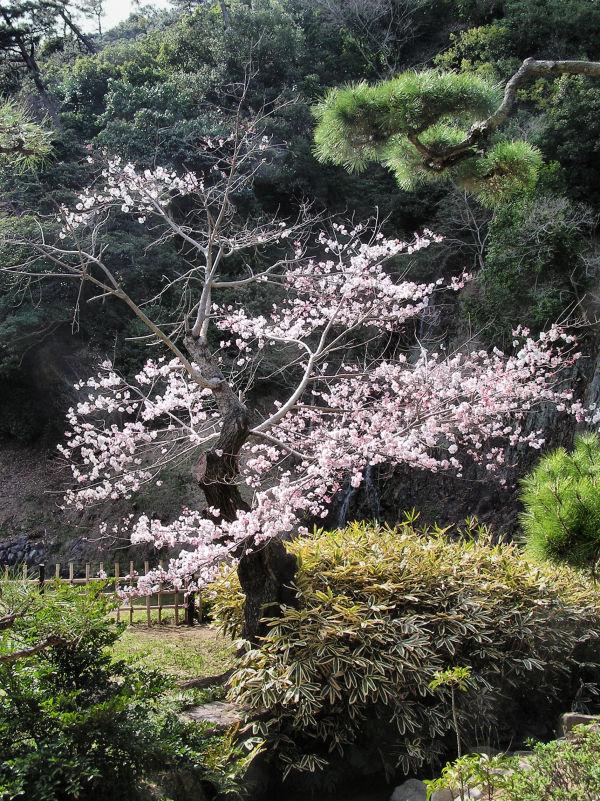 ritsurin-koen takamatsu japan garden tree blossom