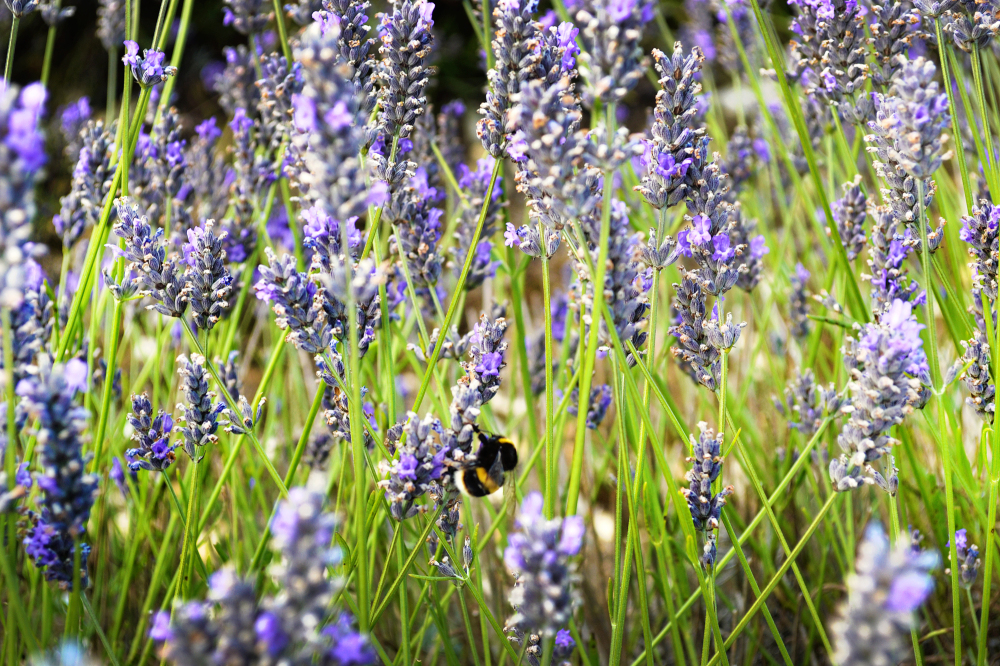 hitchin-lavender lavender farm bee england