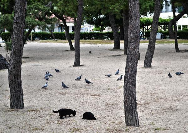 tamaño okayama japan beach cat pigeon