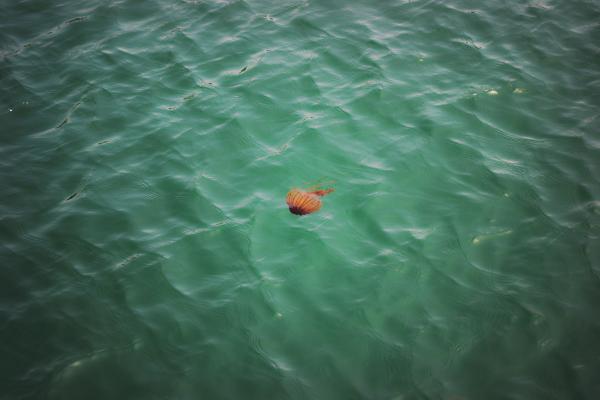 uno okayama japan seto-naikai jellyfish