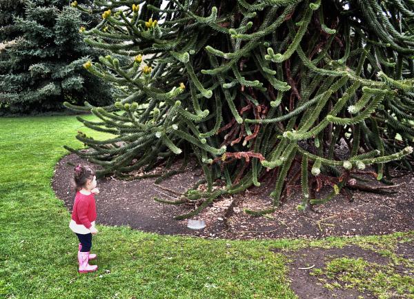 kew-gardens london england tree monkey-puzzle