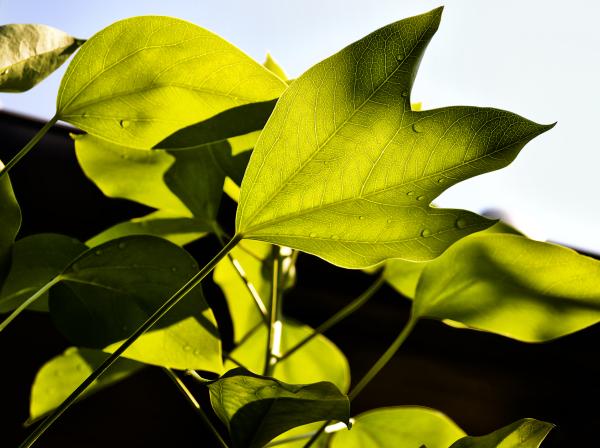 okayama omoto japan leaf plant