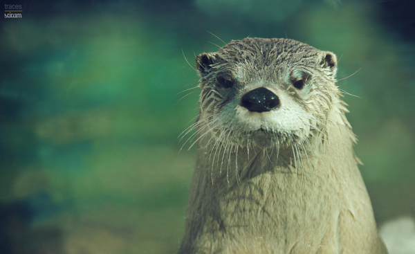 The curious Otter