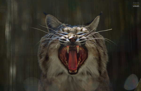 The hungry Bobcat