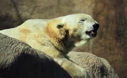 Smiles of the Polar Bear