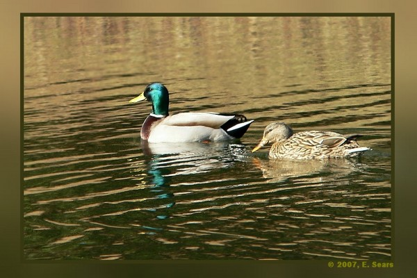 two ducks swimming in pond