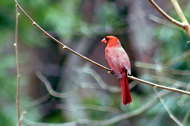 cardinal perched in tree