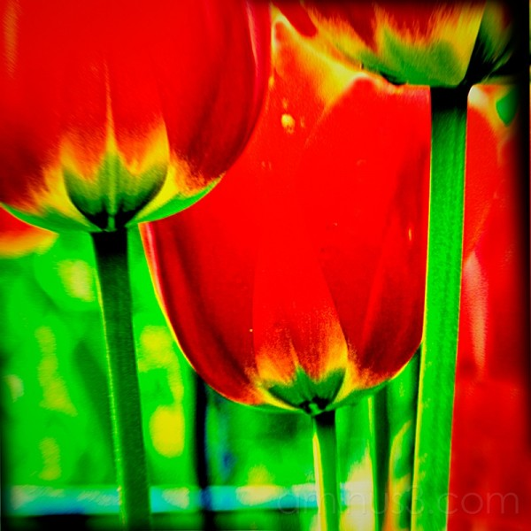 tulips with holga simulator