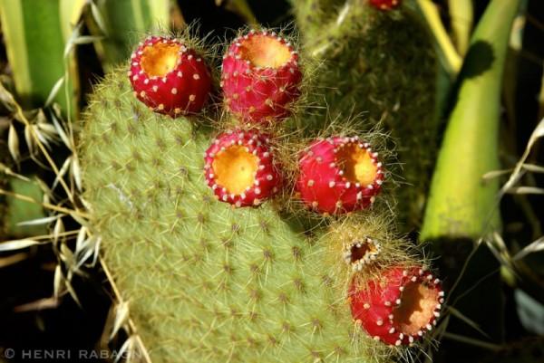 Cactus, figuier de Barbarie
