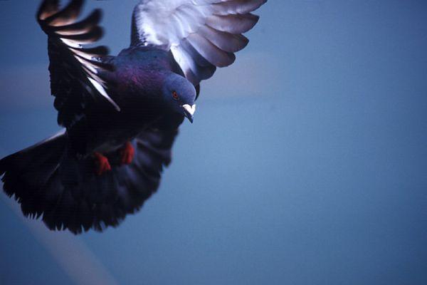 film  pigeon