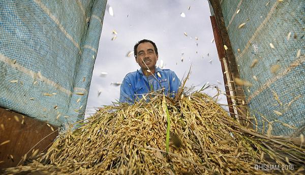 pado malaysia farmer mukul padi