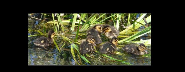 Ducklings in The Stream
