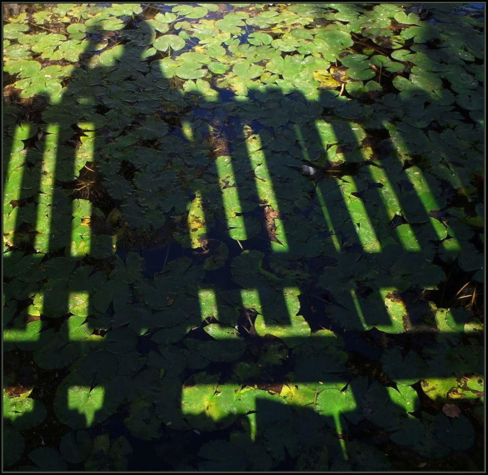 Shadow of Myself in The Lotus Pond
