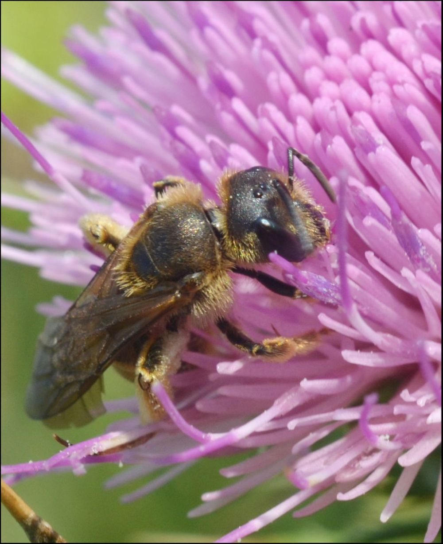 Field Thistles & Bee