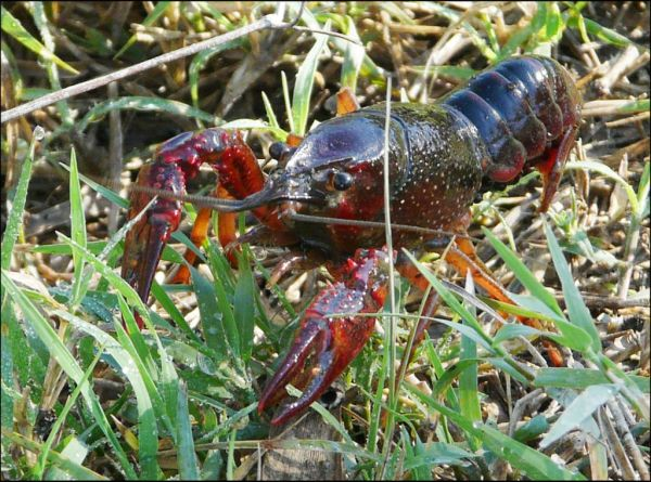 Crayfish in The Rice Fields in Pego