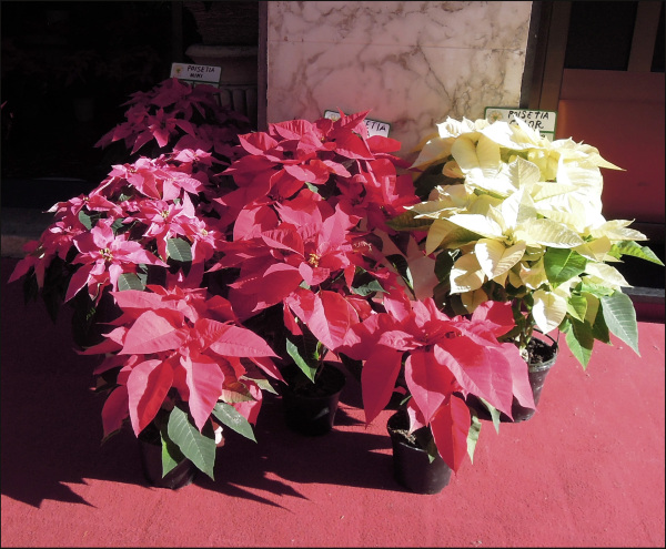 Florists'Poinsettia