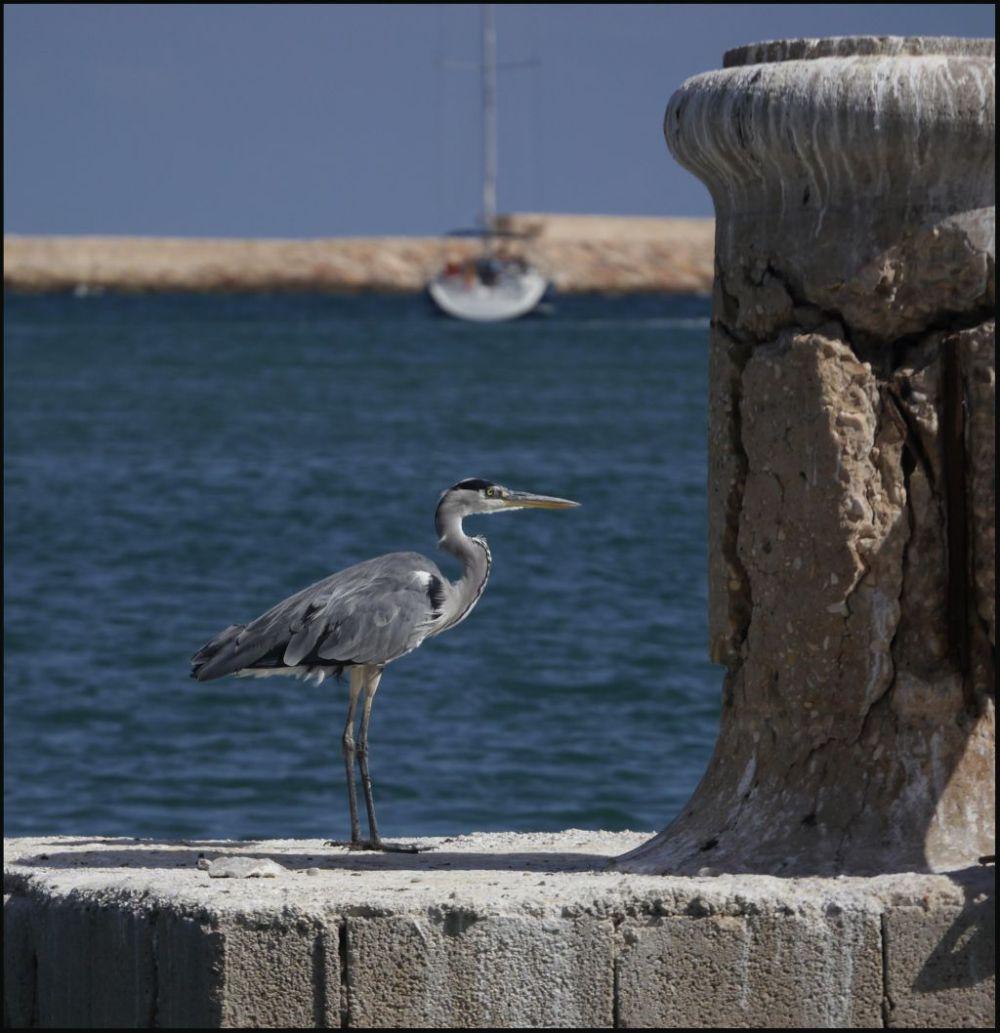 Grey Heron at The Denia Yacht Harbor