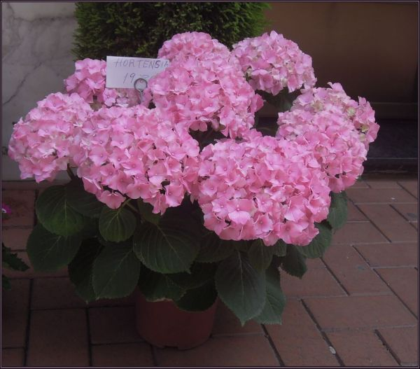 Hortensia in Full Bloom