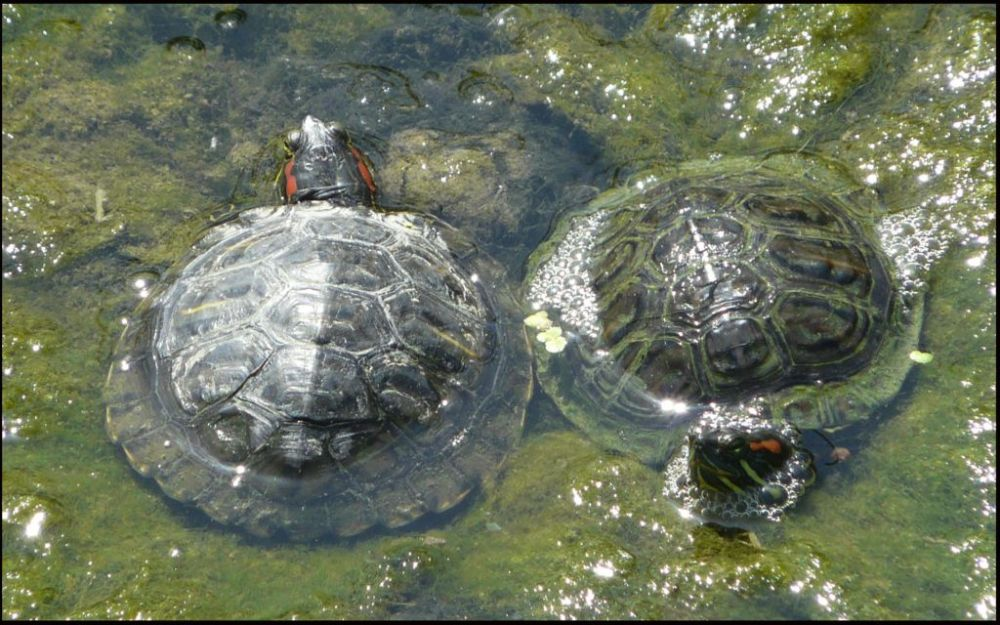 Sunbathing Turtle