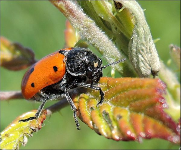 Burying Beetle in The Fields
