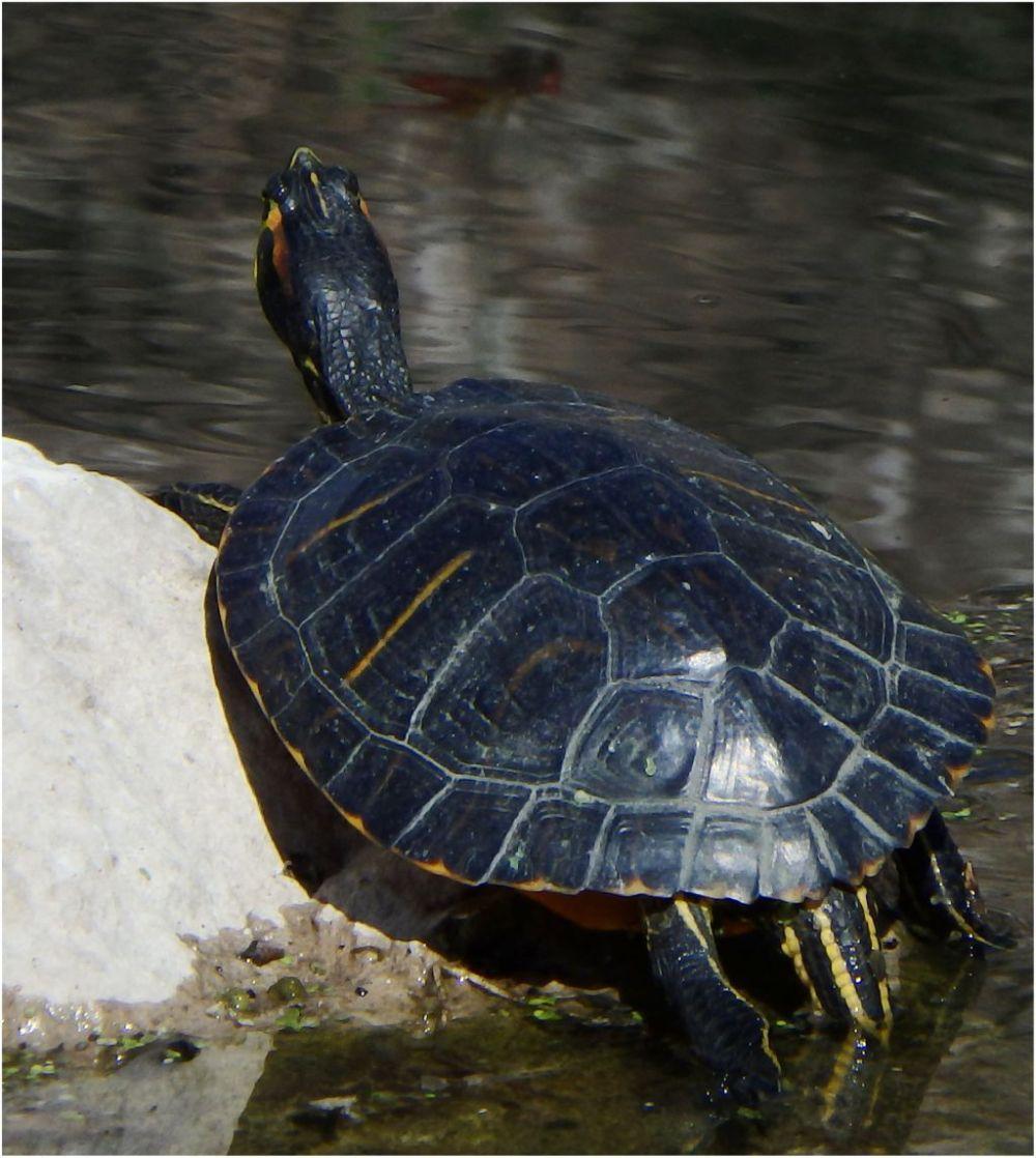 Sunbatheing Pond Slider