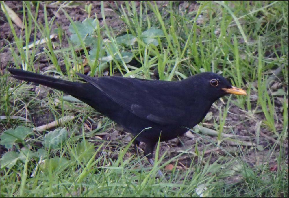Common Blackbird in The Gandia Park