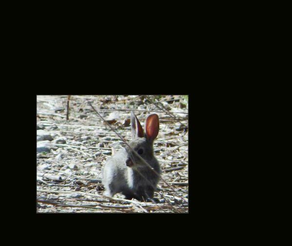 Wild Baby Hare in The Orange Fields