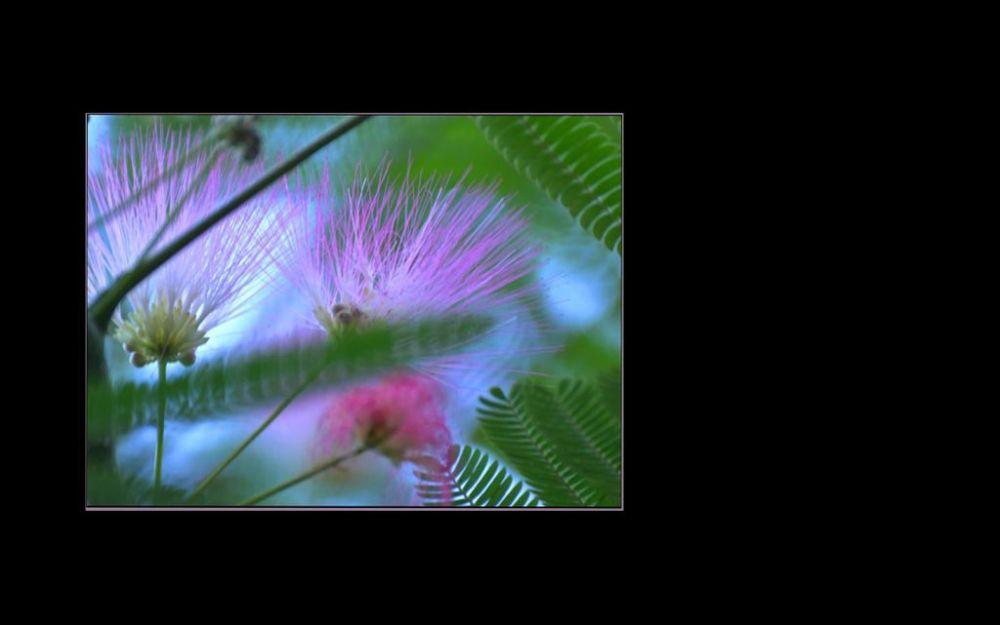 Pink Silk Tree - Flowers in Full Bloom