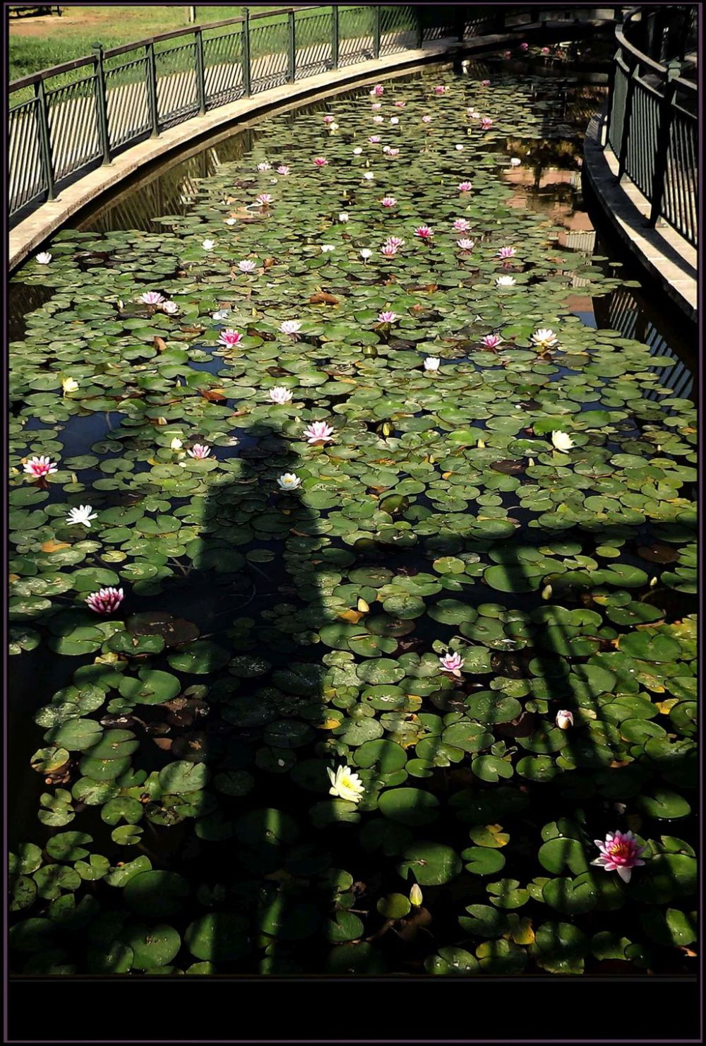Shadow of Mine at The Lotus Water Garden