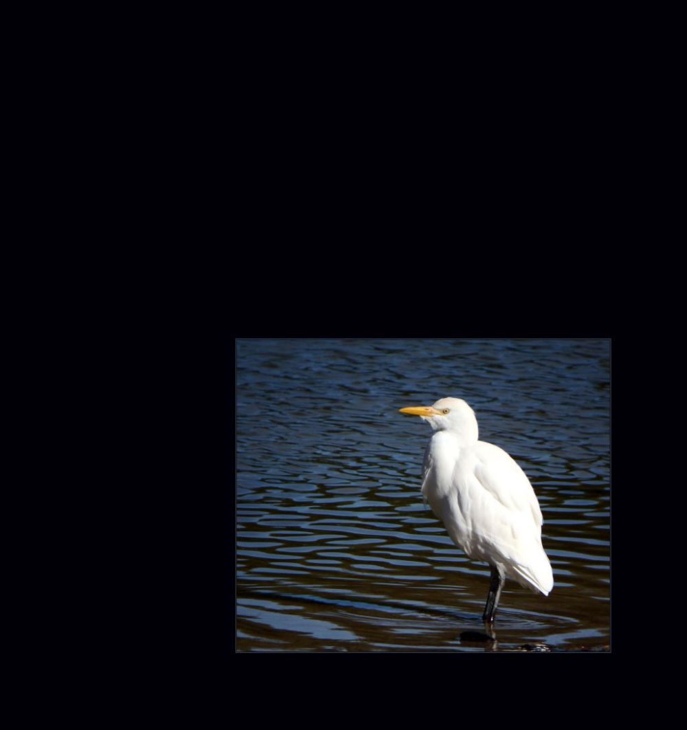 Little Egret in The Pond at Gandia Park