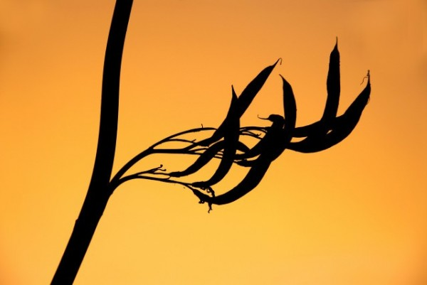 flax pods