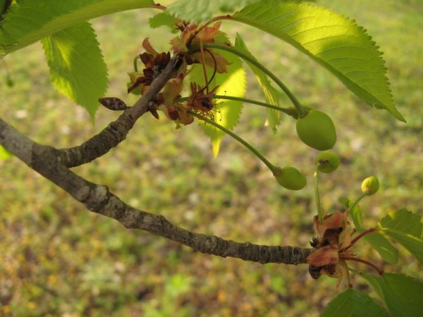 cerejas, cherrys