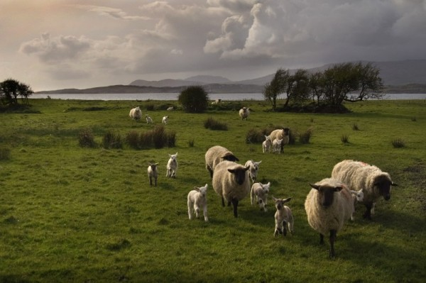 SPRING LAMBS IRELAND