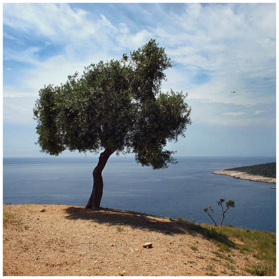 olive tree with view