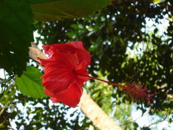 Hibascus,kmfkalpy,flower