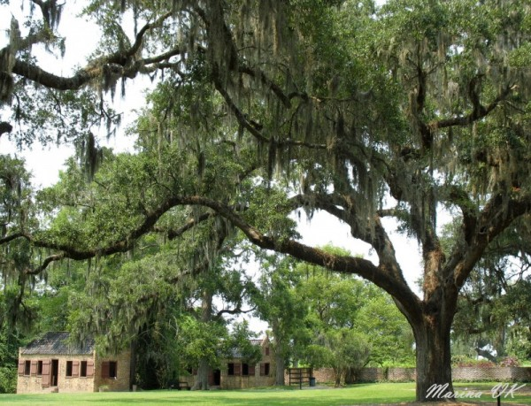 An oak in the Boone Plantation