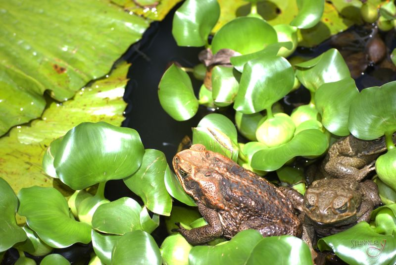 Two Toads in a Pond